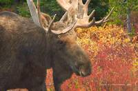 bull moose in the huckleberry