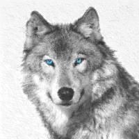 Husky Gray wolf Art Prints & Posters by Susanna Shaposhnikova
