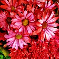 Christmas Pink Daisies by Through The Split Window