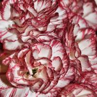 Peppermint Carnations by Through The Split Window