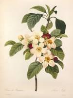 Apple Blossom by Priscilla Turner