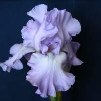 Ruffled Iris by Sandy Mauck