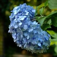 Blue hydrangea by Sandy Mauck
