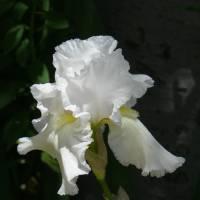 White Iris by Sandy Mauck