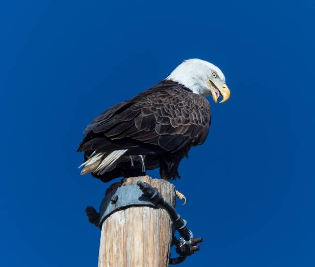 Eagle Tongue
