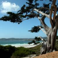 Cypress at Carmel Beach by Sandy Mauck