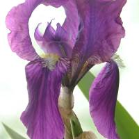 Lady Iris by Sandy Mauck