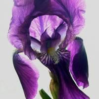 Intricate Iris by Sandy Mauck