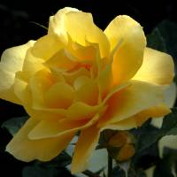 The Yellow Rose by Sandy Mauck