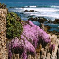 Draping Pink Monterey by Sandy Mauck
