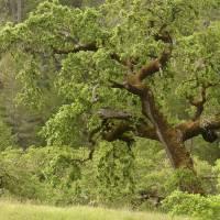 Live Oak Glory by Sandy Mauck