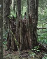 Stump In The Forest by Kirt Tisdale