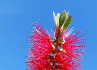 Bottlebrush plant against blue sky