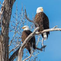 Bald Eagle Pair Art Prints & Posters by David Kocherhans