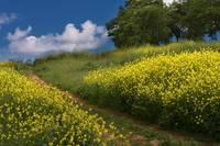 Almaden Meadows & Mustard Blossoms by Glenn Franco Simmons