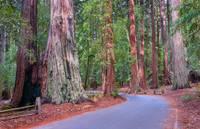 Big Basin Redwoods State Park Landscape by Glenn Franco Simmons