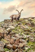 Alpine Ibex Swiss Alps 2