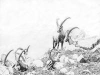 Alpine Ibex Group Swiss Alps