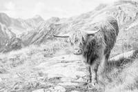 Highland Cow, Swiss Alps, Switzerland