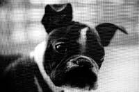 Boston Terrier kissing