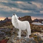 Arctic Wolf Howling Prints & Posters