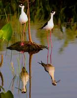 Black Neck Stilts Reflect #2