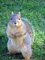 Not a Grey Squirrel..lol, or English..come to that