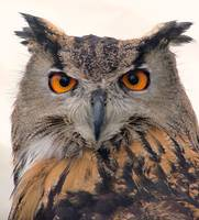 European Eagle Owl Portrait - London Bridge, Londo