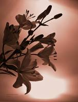 Copper Lilies Silhouette