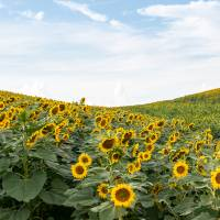 """Sunflower field"" by giakoehlerphotography"