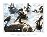 Brown Pelicans - Key Largo, FL