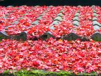 Fallen red leaves over roof tiles