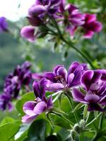 Geraniums in Purple