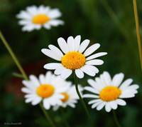 Margheritine - Little daisies