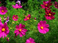 Pink Cosmos'