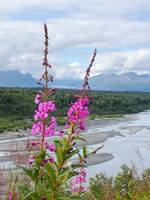 Fireweed With a View