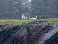 Sheep on cliff West Ironbound Island