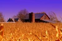 Barn in a cornfield