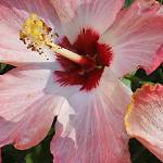 Pink and White Hibiscus by Deanne Flouton