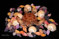 Turtle and The Seashells