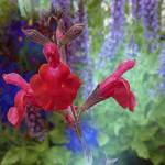 Red Salvia by Deanne Flouton