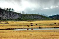 Yellowstone  bison field