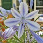 Mediterranean Lily by Deanne Flouton