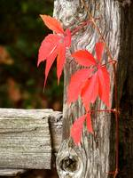 Red Leaves & Fence Post