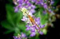 Dragonfly on Lupine