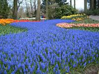 Blue Path - Keukenhof Garden, The Nederlands