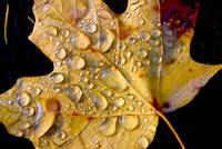 Maple Leaf in Fall #1 - Morning Dew