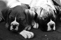 A Pair of boxer pups