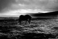 Dartmoor Storm Pony