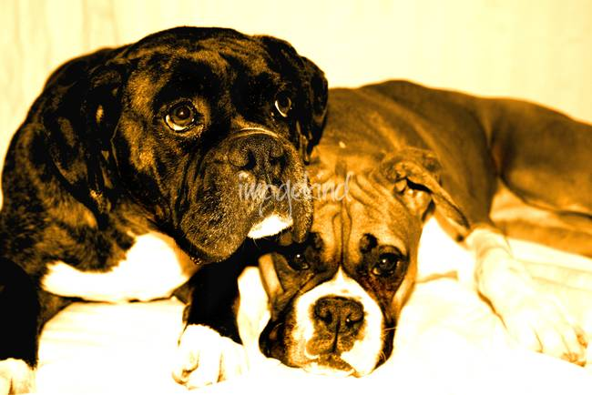 Boxer friends